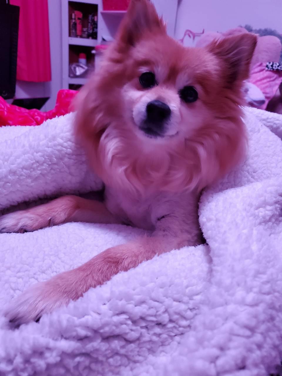 pom in a blanket