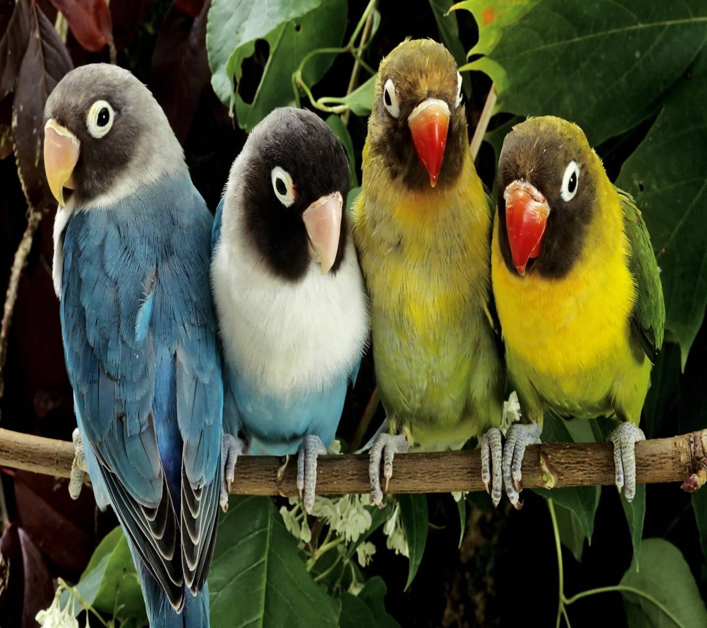 Clrfull Parrots