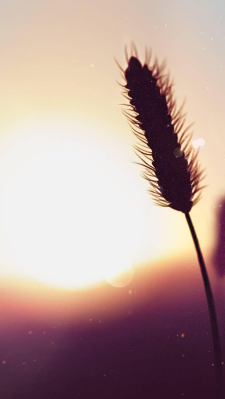 BB10 - Wheat