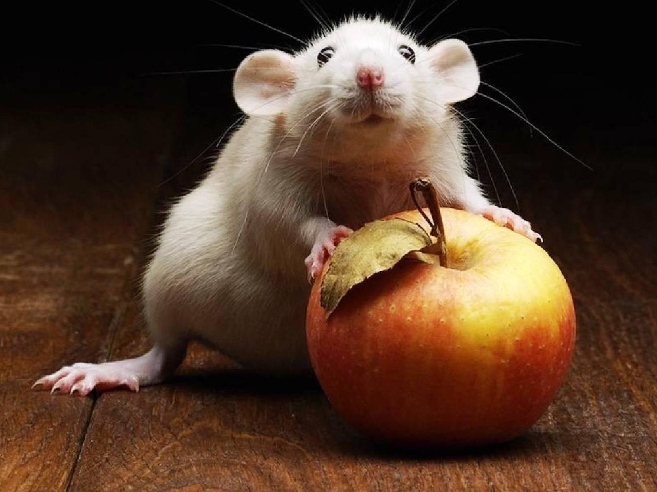 Открытках, смешные картинки крыс с надписями
