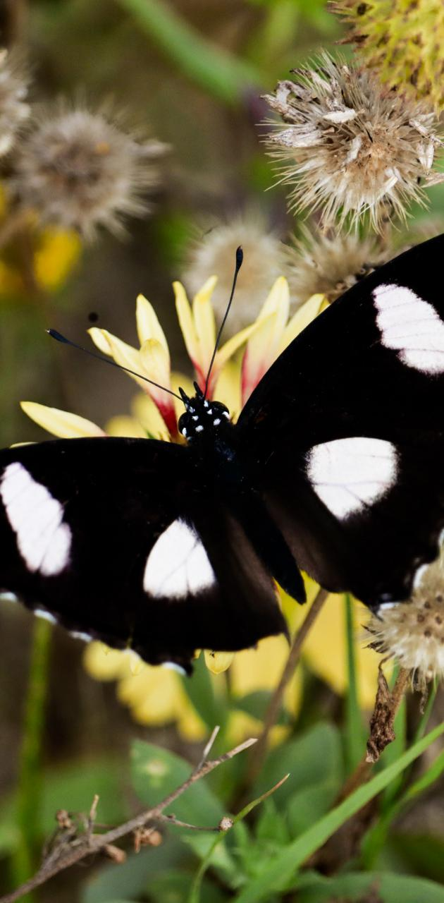rare black butterfly