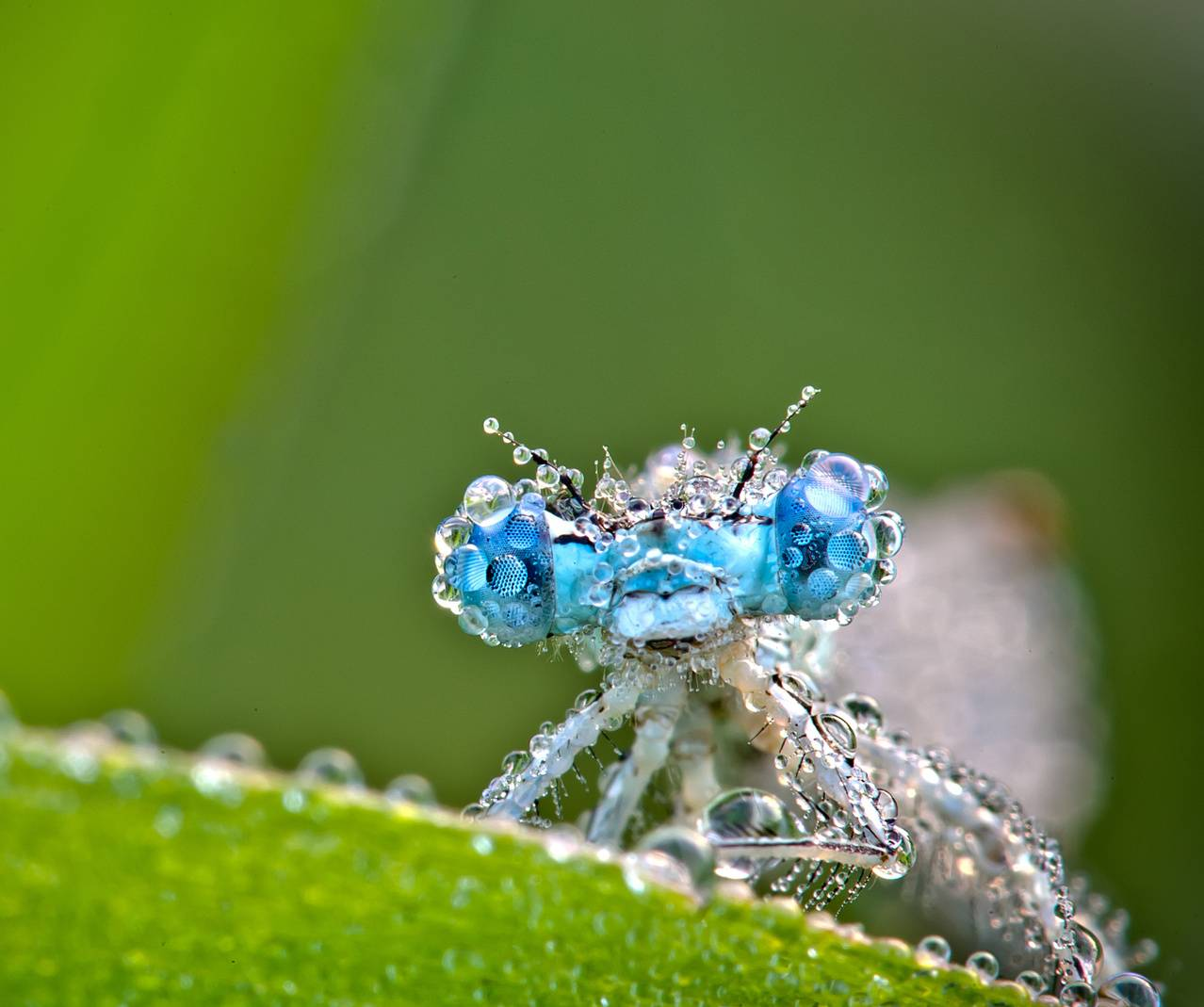 Dewey Drangonfly