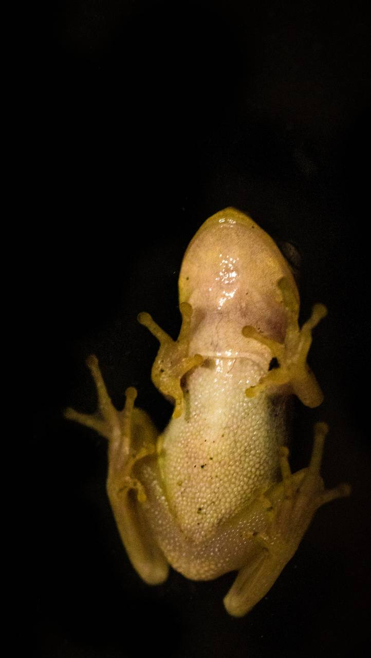 Das Frog IPho6s