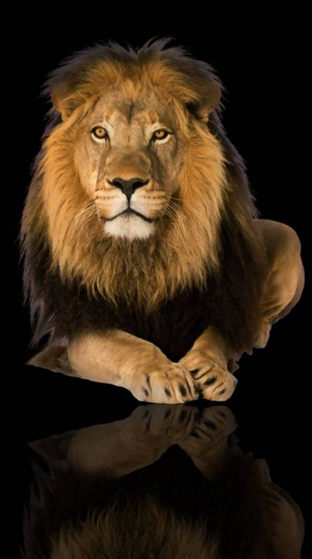 Hd Lion Wallpapers Free By Zedge