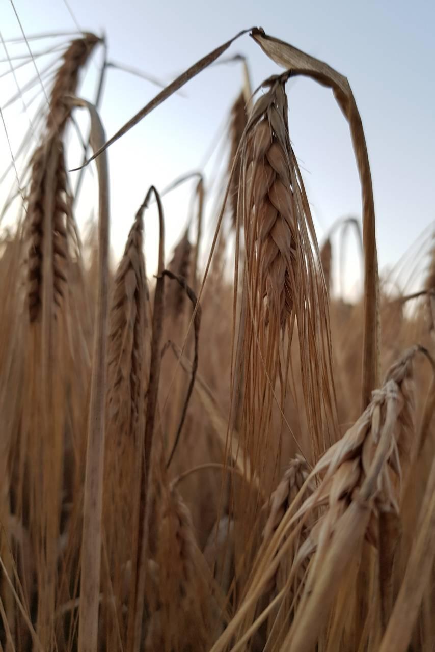 Macro Wheat