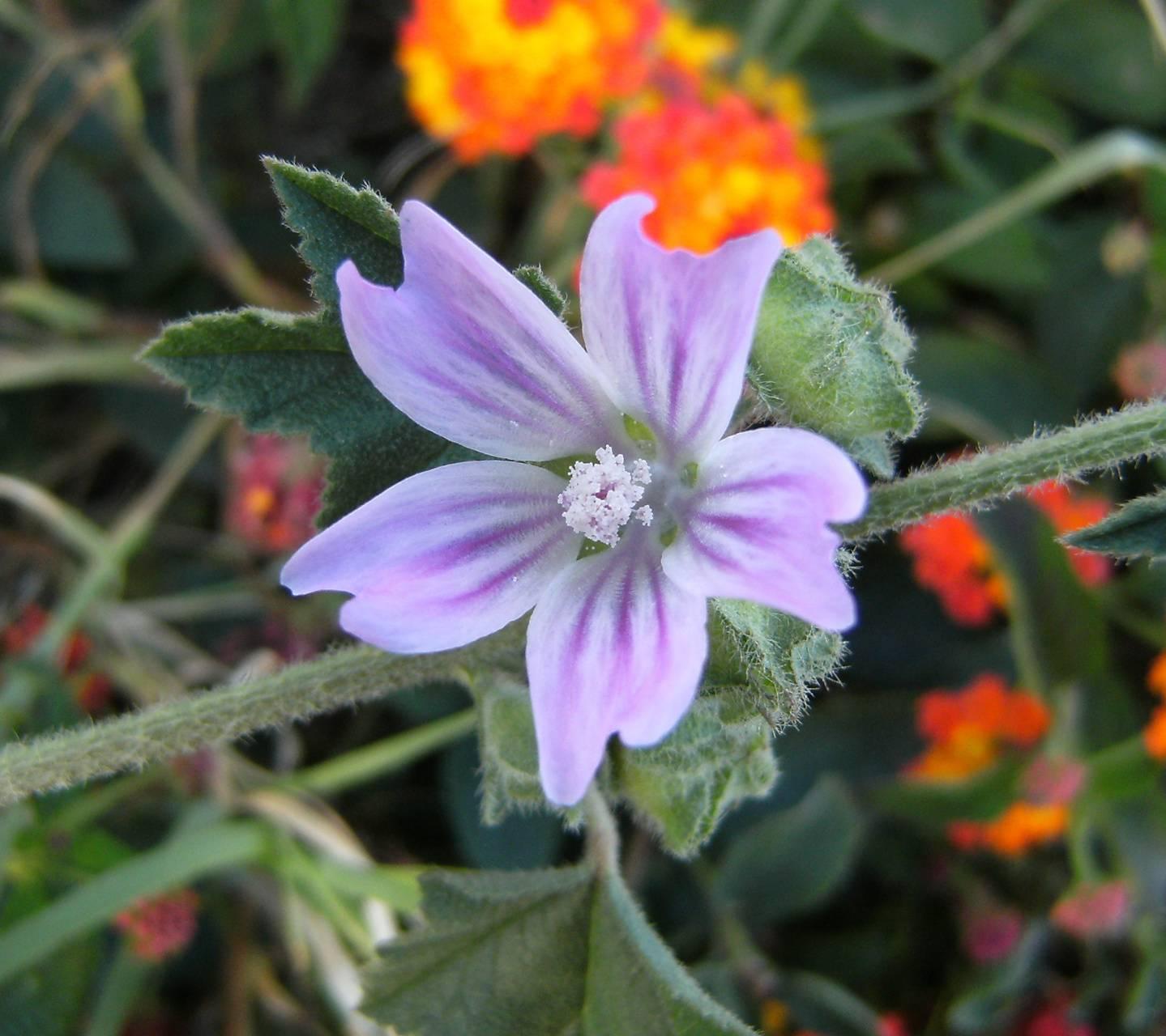 Purolie Flower