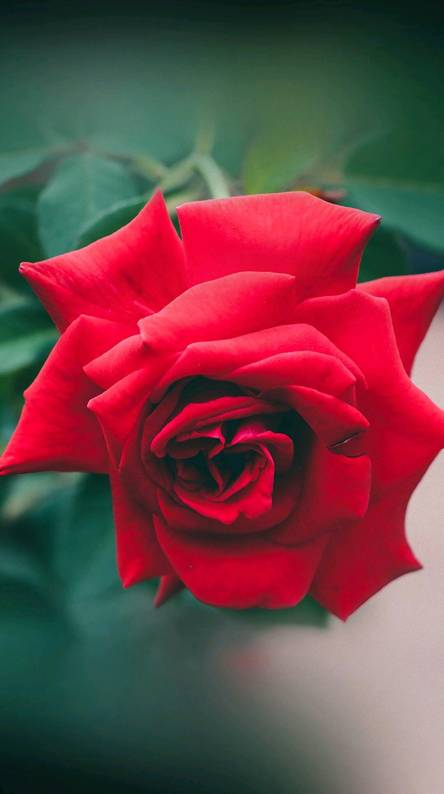 rose hd wallpapers free by zedge