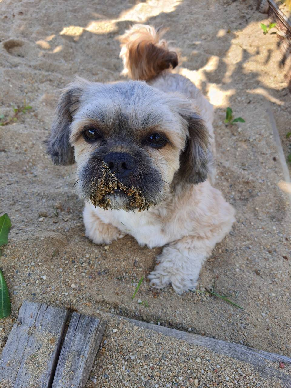 Dog - Shih Tzu
