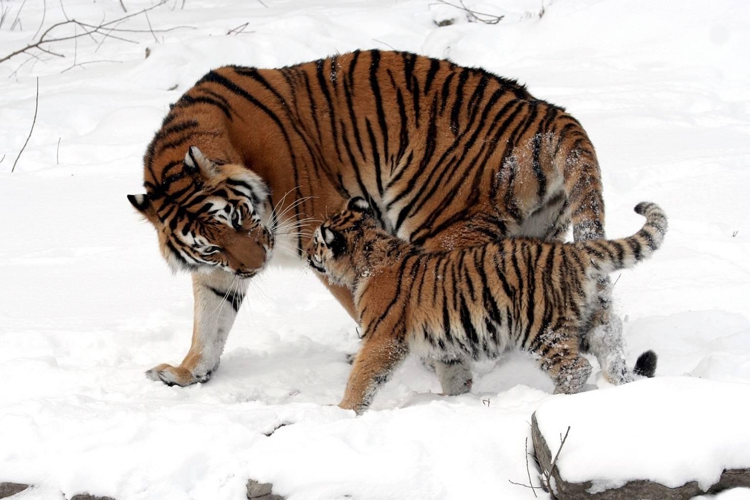 Snow Kittys