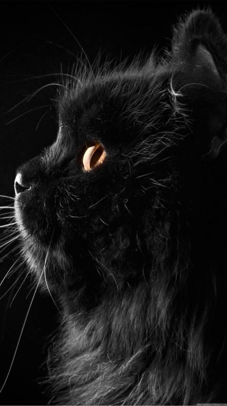 HD Cute black Cat