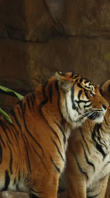 Tigers Posing