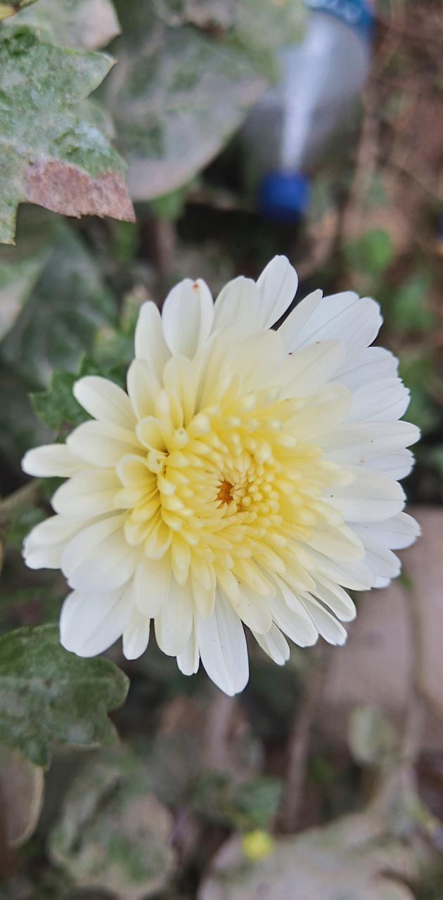 Flower mandharam