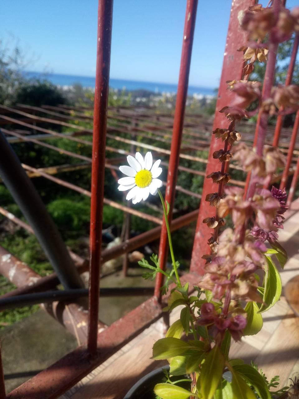 Autumn spring daisy