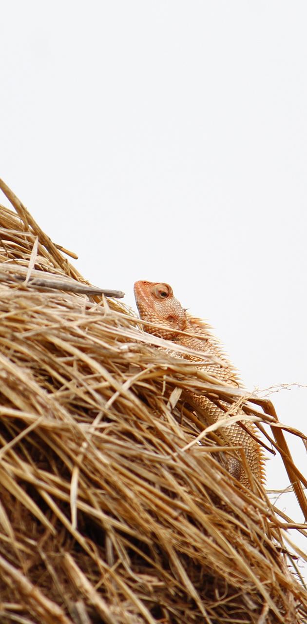 Indian Garde lizard