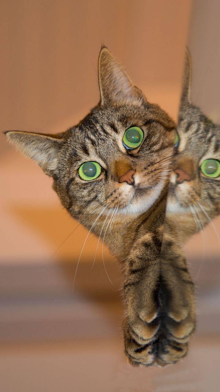 Cat in the mirror