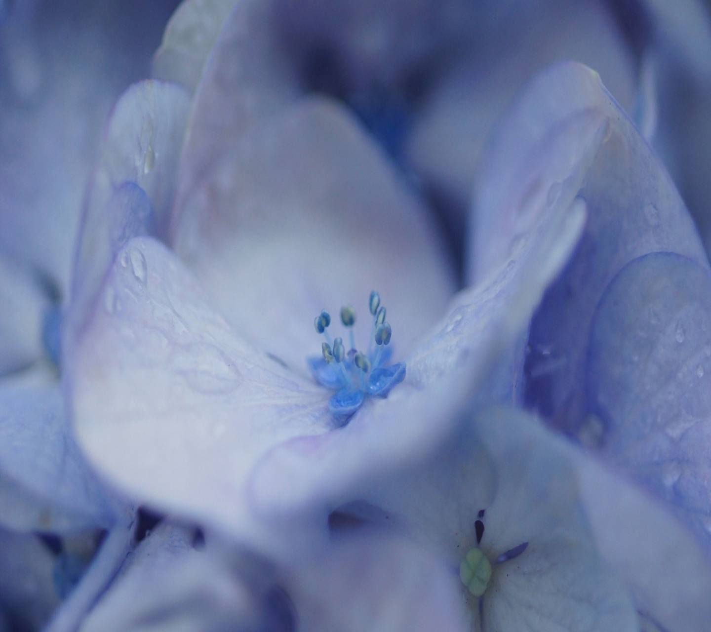 Macro Lilac