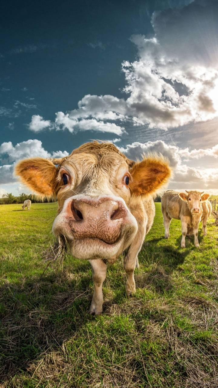 French cow