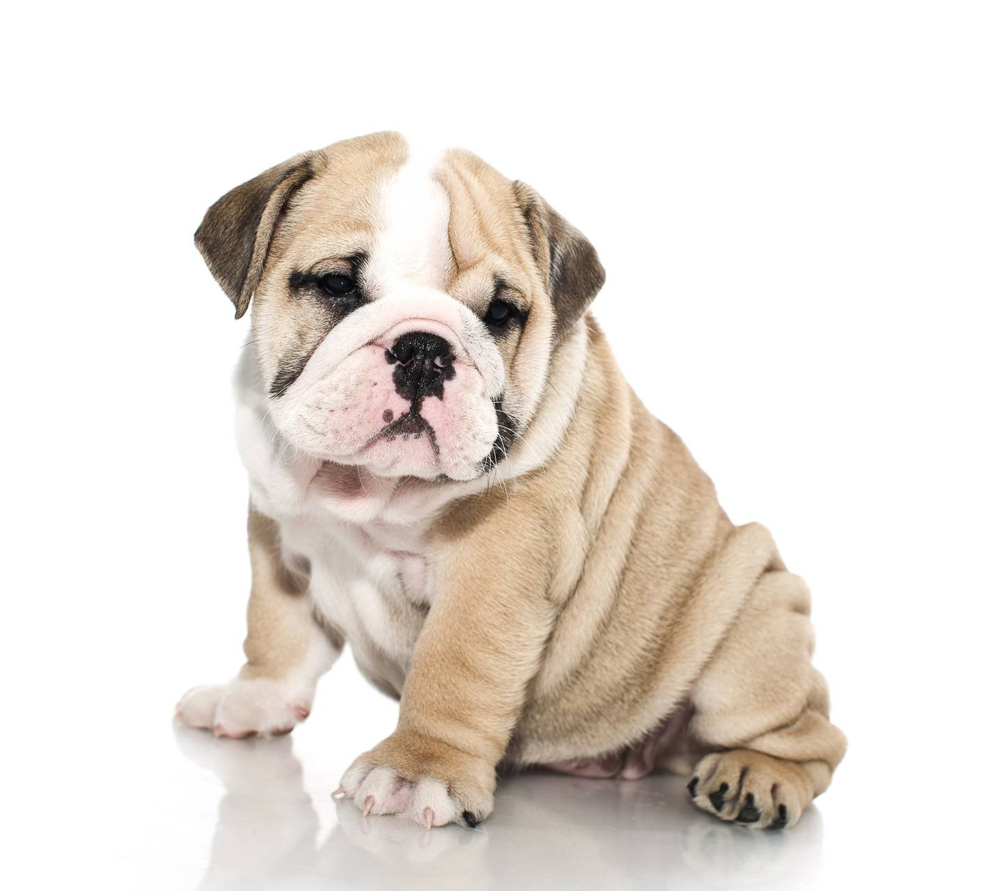 Bulldog Dog Wallpaper By Hsncmb 47 Free On Zedge