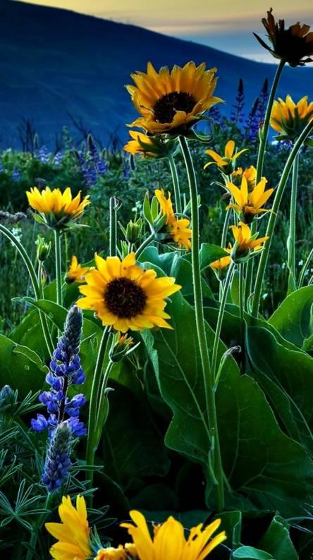 Lupine Sunflowers