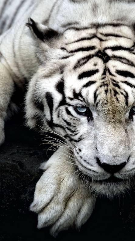 Big Cat Tiger White