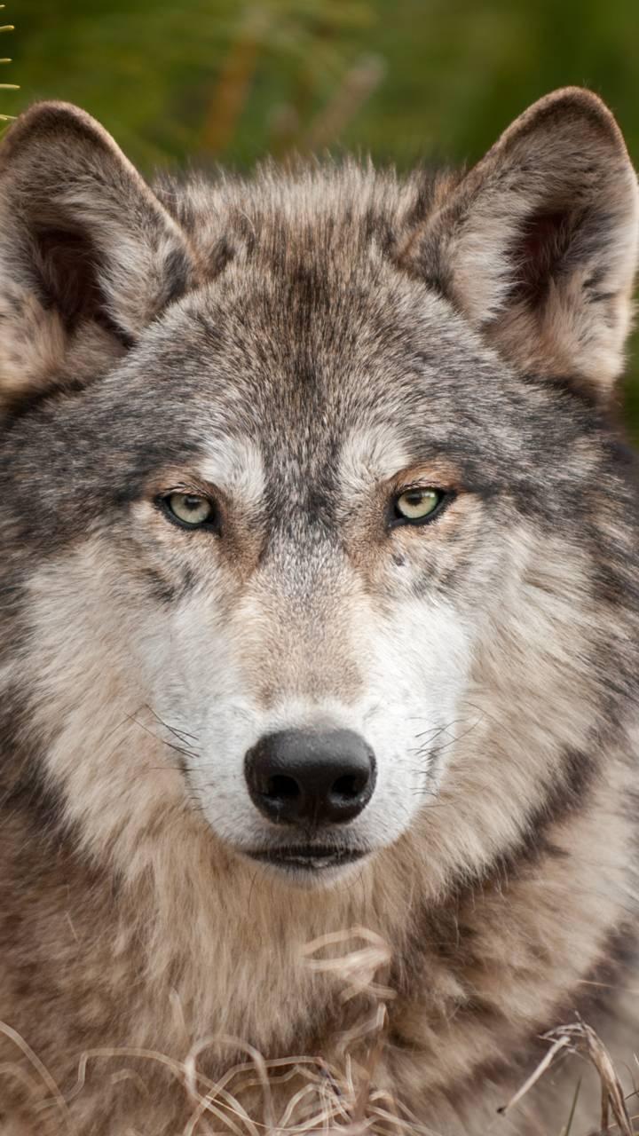 wol fmuzzle predator