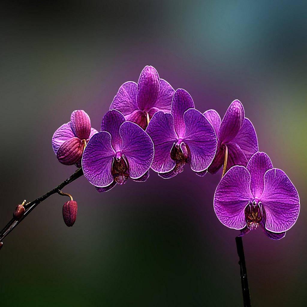 Flower Orchid Purple