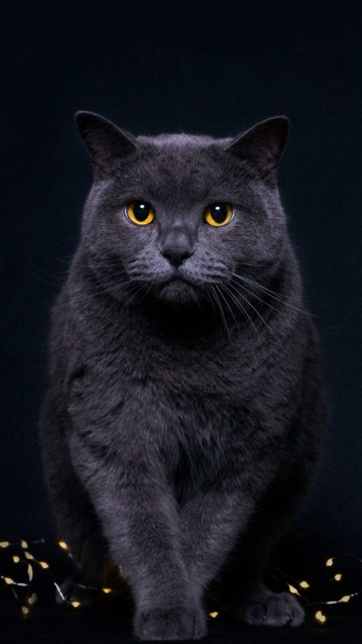 Black Cat Wallpaper By Georgekev 15 Free On Zedge