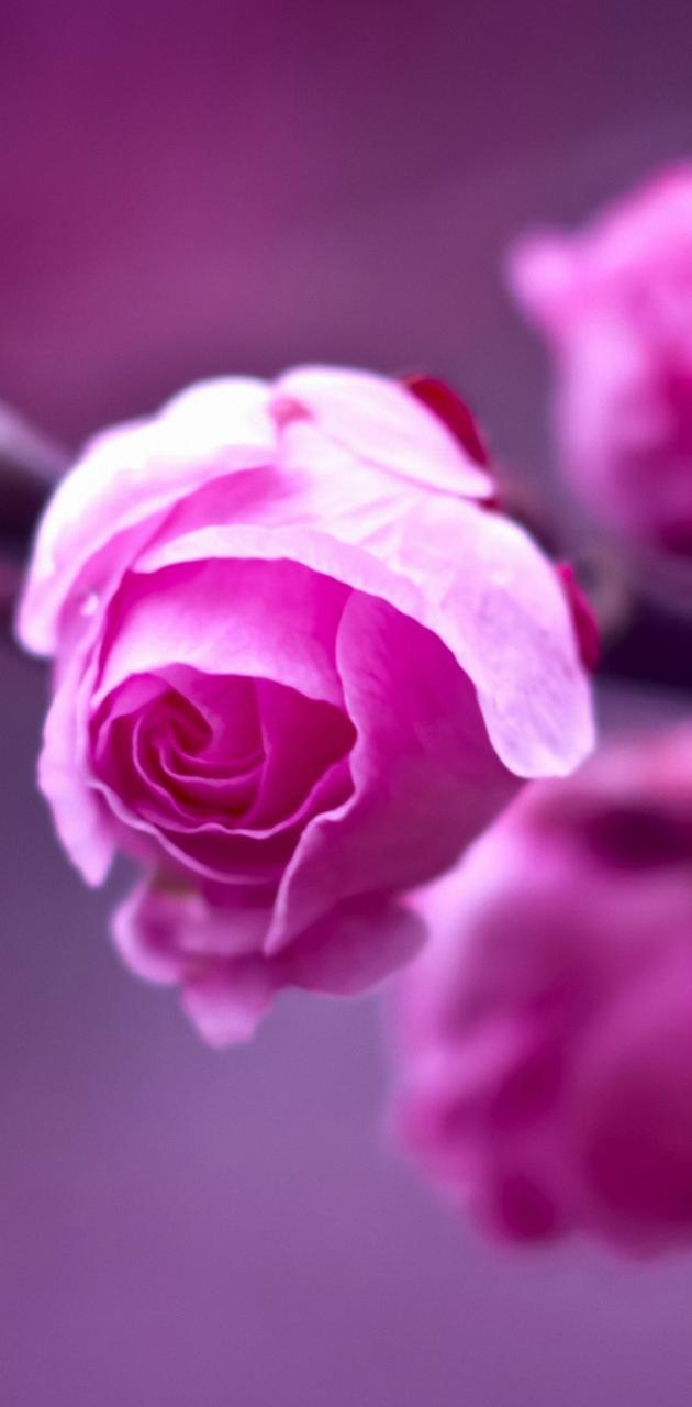 Macro Roses QHD