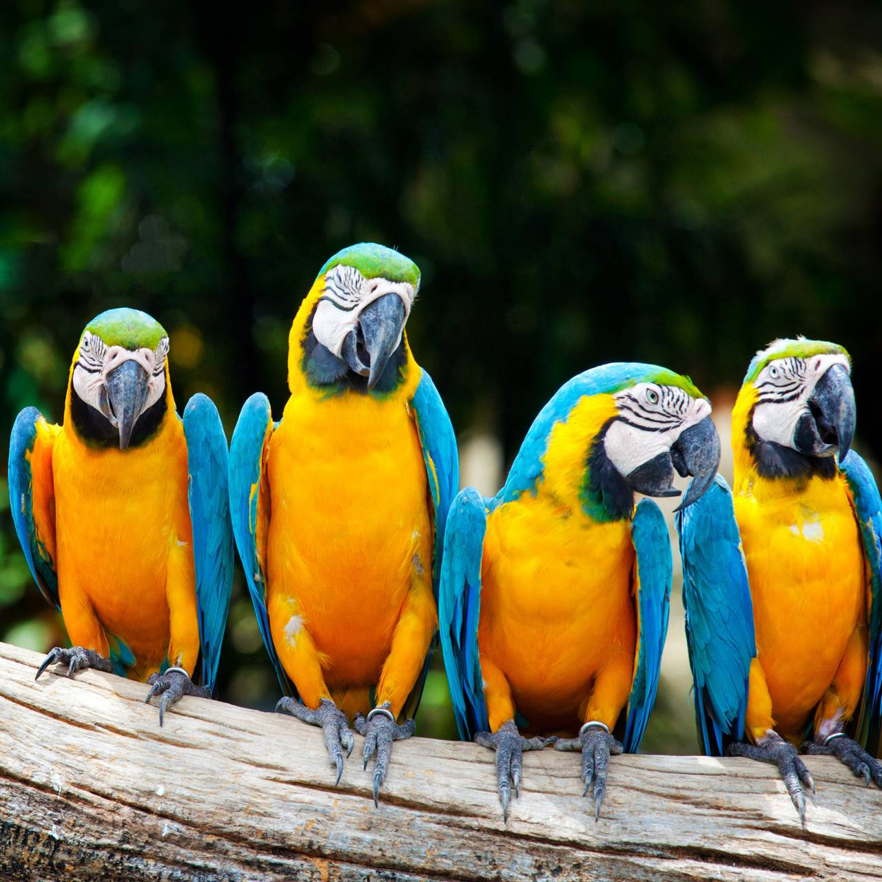 African Macaw
