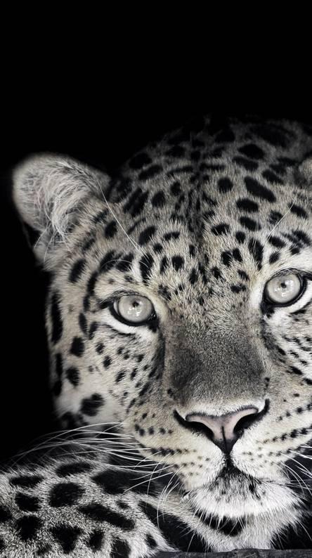 Big cat HD