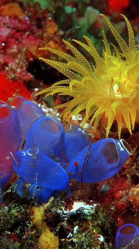 Blue Sea Squirts