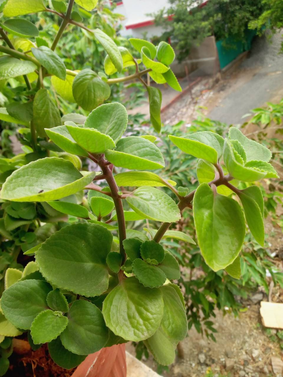 Ova plant