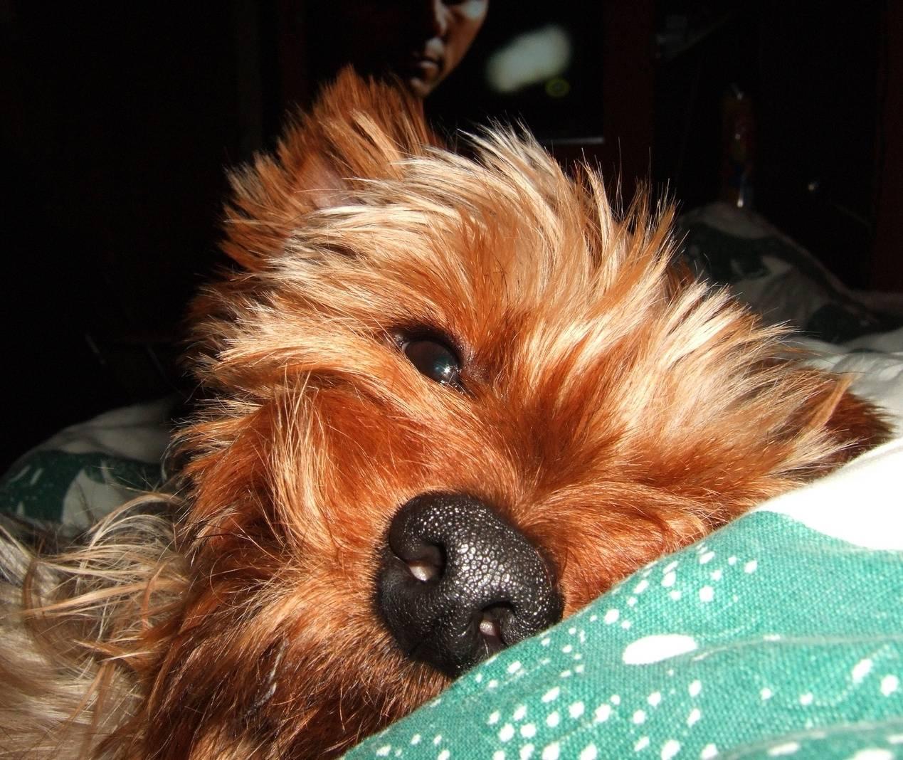 Yorki Dog