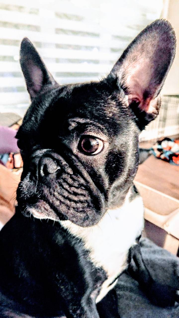 Gaston the Bulldog