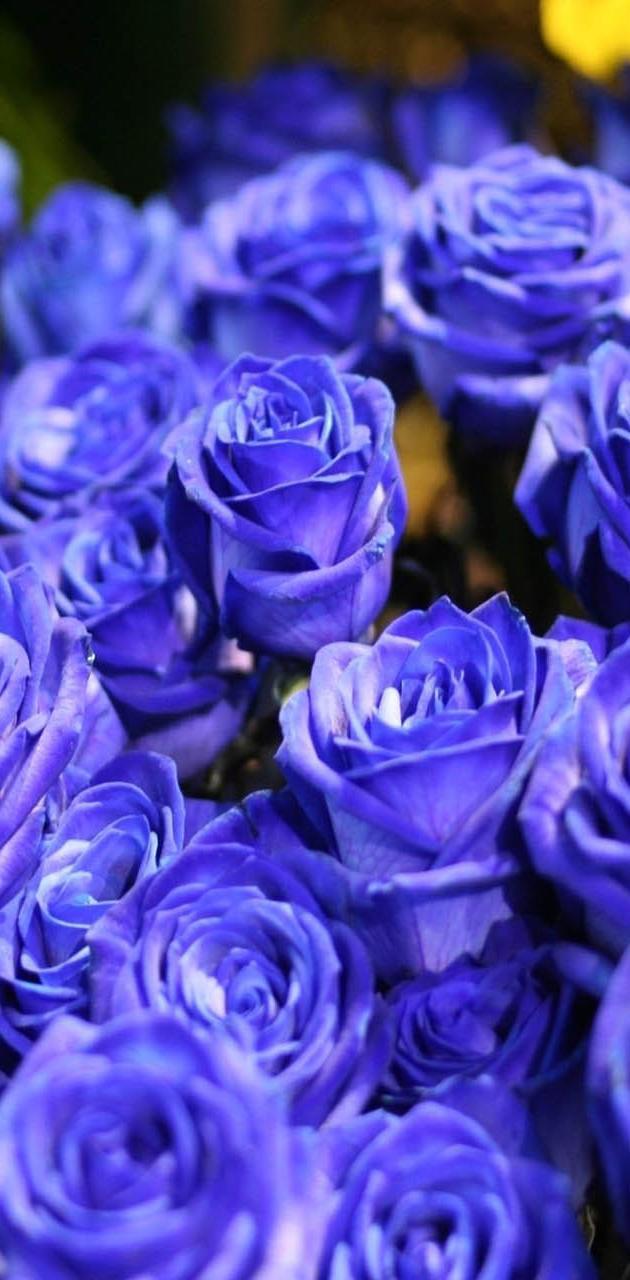 Blue Roses Closeup