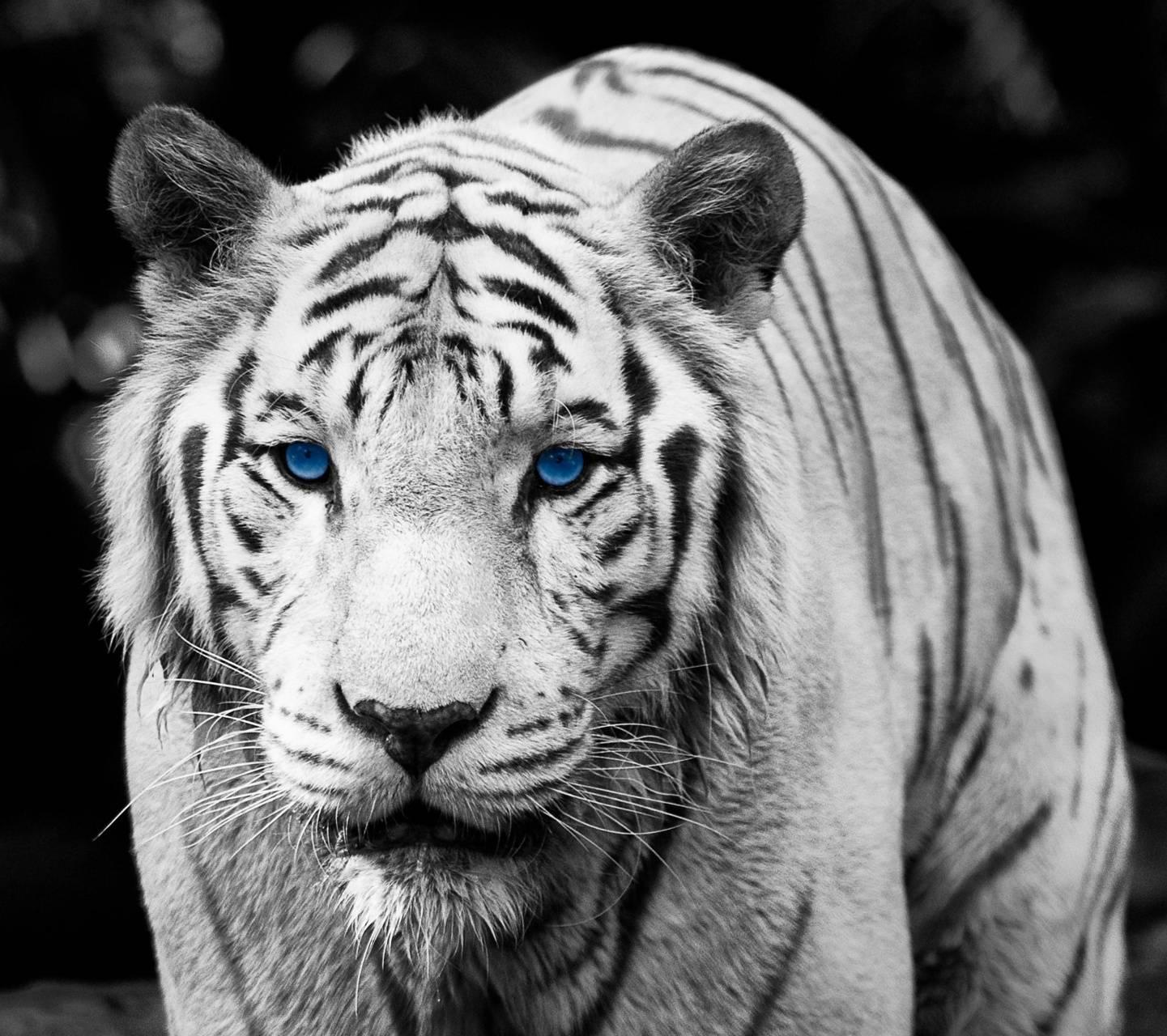 Blue Eyes Tiger Wallpaper By Sphinxlars