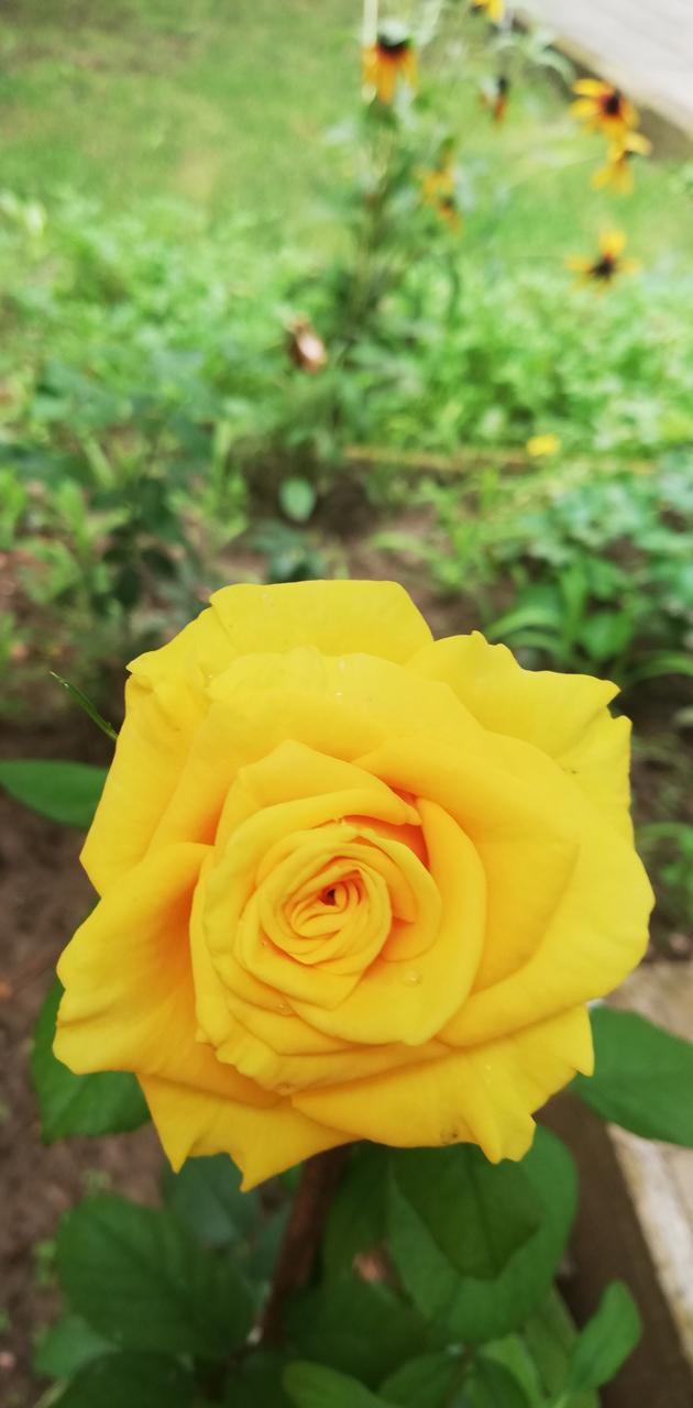 roze yellow