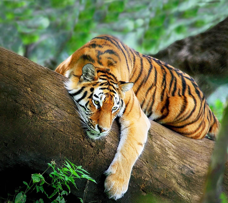 tiger relax wallpaper_marika_ - dplbe7ekni5yy
