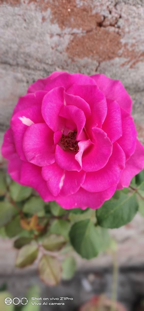 Pink rose mkn