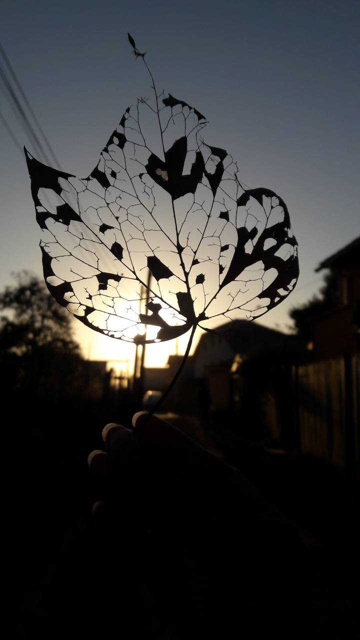 Leaf at sunset