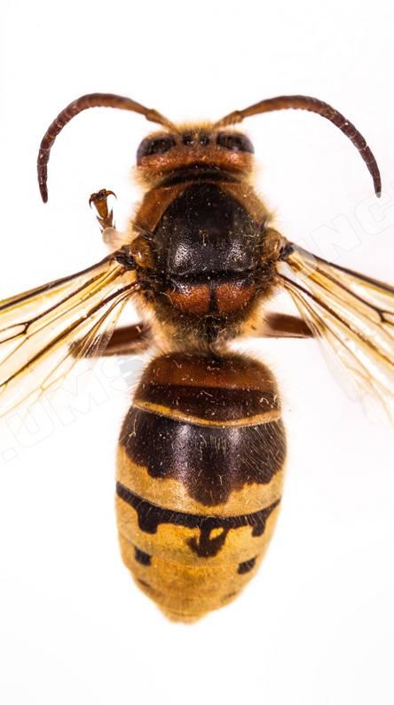 hornet from air