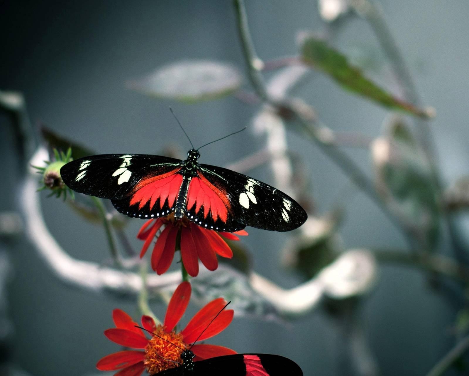 Butterfly-wide
