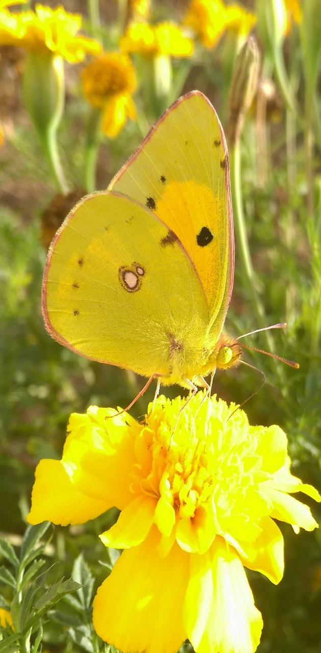 yelloow butterfly