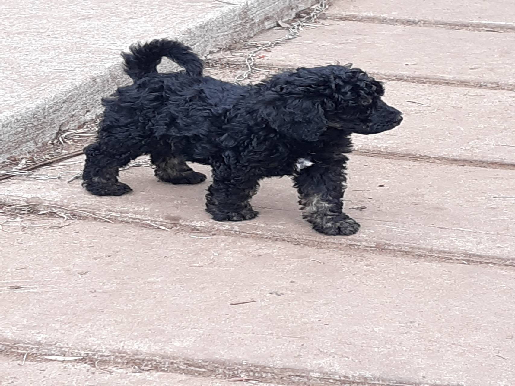 Phantom Poodle puppy