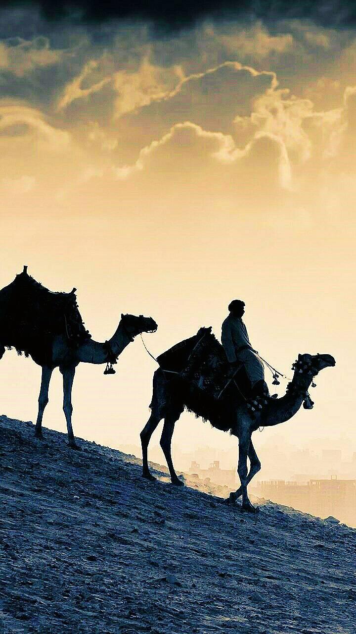 Camels of Arab