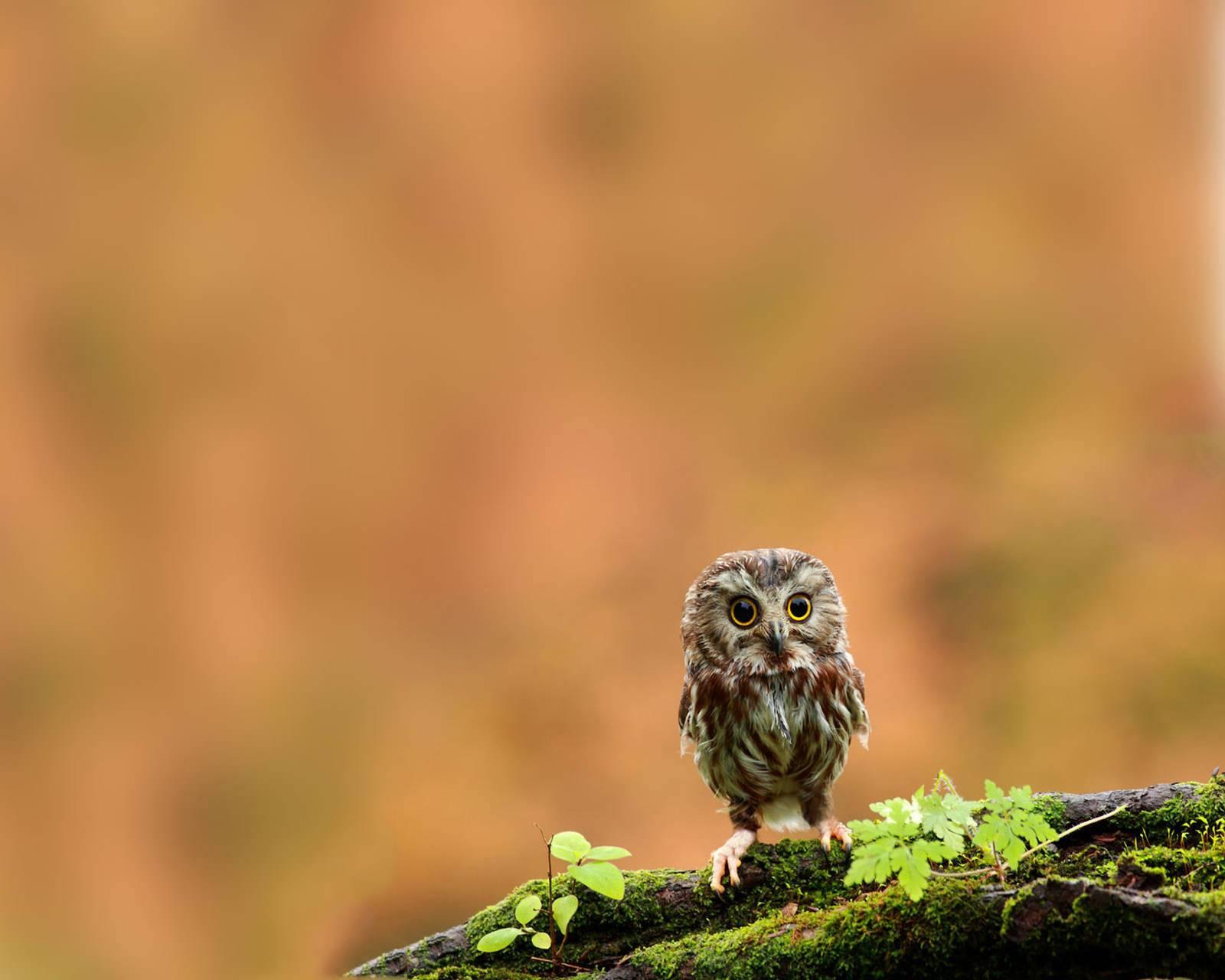 Little Owl Hd