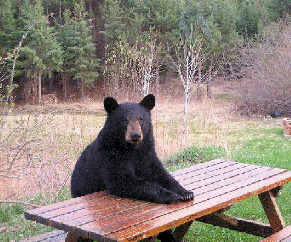 Bear At Table
