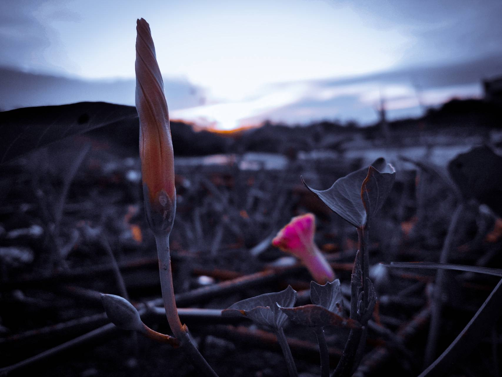 Kembang sunset