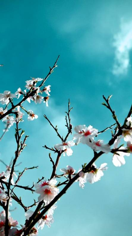 Cherry Blossom Wallpapers Free By Zedge