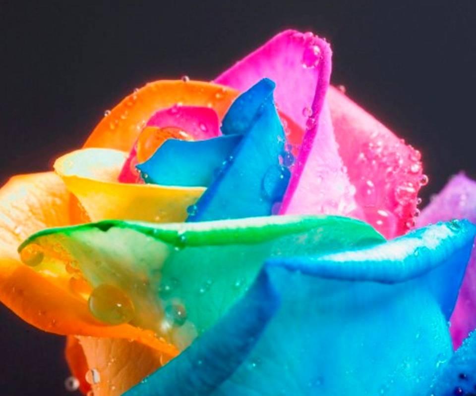 Rose907